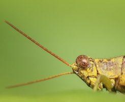 バッタ 虫 大きい 小さい 細長い 緑 種類
