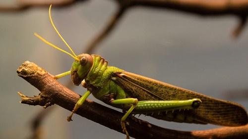 バッタ 幼虫 飼育 時期 餌