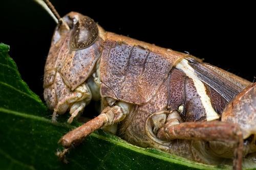 バッタ 孵化 成虫 採集 時期