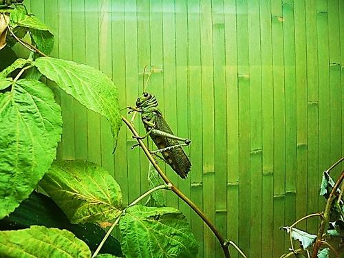 バッタ 脚力 最強 昆虫