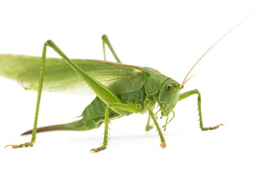 バッタ 似てる 虫