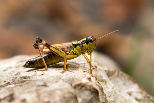 バッタ 昆虫 大量 夢占い