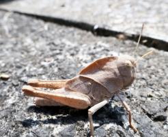 トノサマバッタ 幼虫 餌