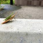 ショウリョウバッタの幼虫の大きさや羽の特徴とは!?