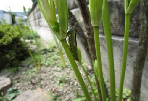 トノサマバッタ 孵化 時期
