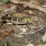 クルマバッタの幼虫の特徴や生態とは!?