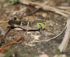クルマバッタ 幼虫