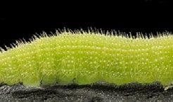 バッタ 種類 幼虫 見分け方