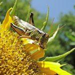 バッタの幼虫と成虫を比較!違いはどんなところ?