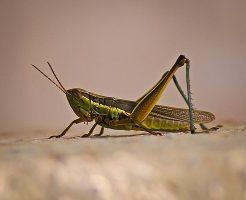 緑色 虫 小さい バッタ