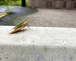 ショウリョウバッタ 幼虫 大きさ